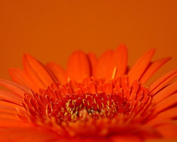 Orange Blume vor orangem Hintergrund