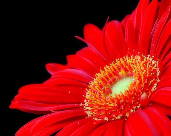Rote Blume vor schwarzem Hintergrund